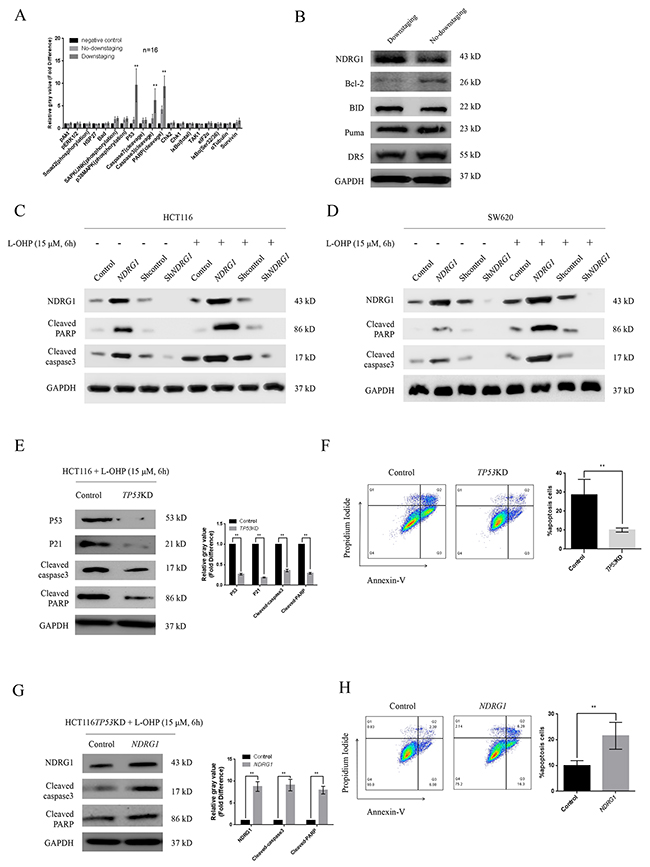 NDRG1 was necessary for oxaliplatin-triggered apoptosis.