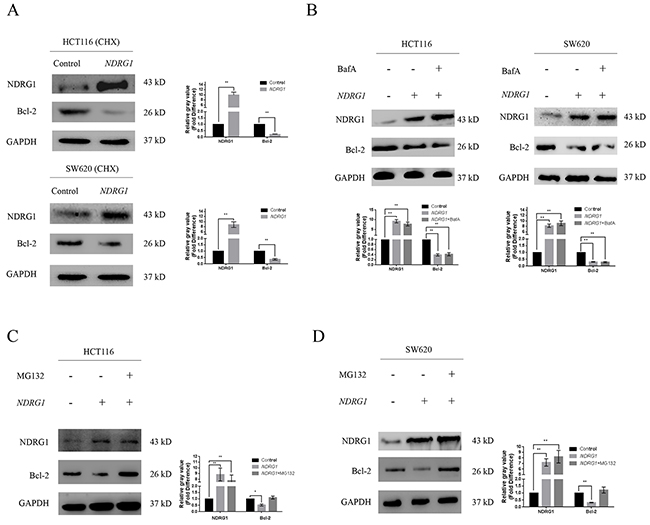 NDRG1 induced degradation of Bcl-2 via ubiquitin-proteasome pathway.