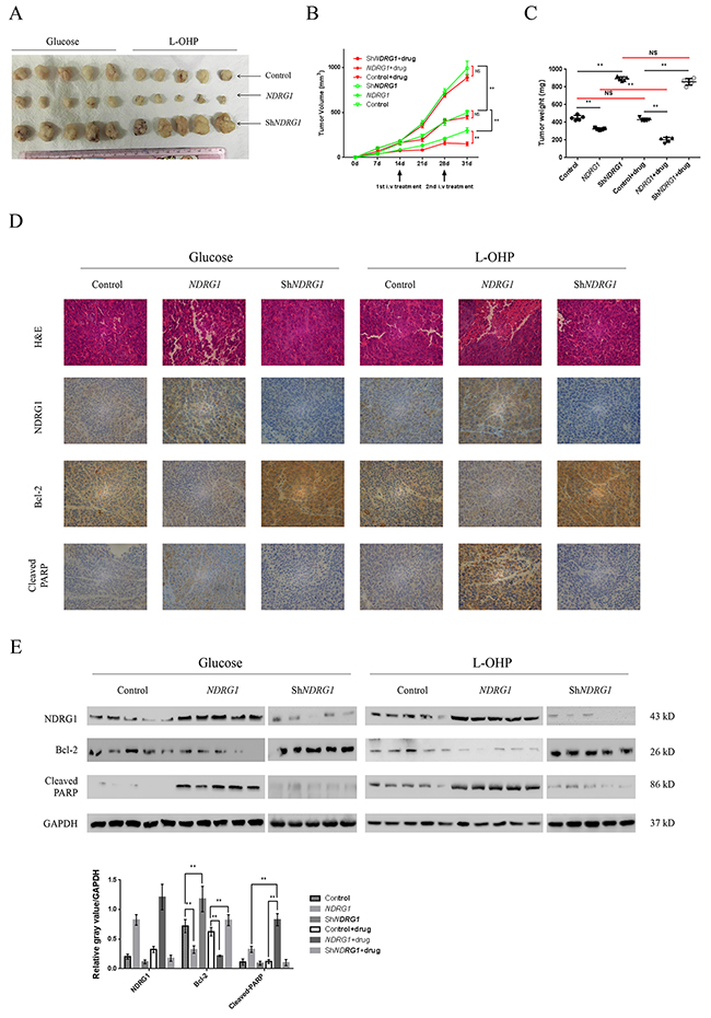 NDRG1 inhibited tumor growth and promoted apoptosis in vivo.