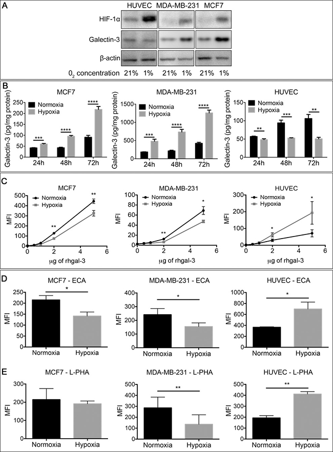 Tumor-secreted galectin-3 under hypoxic conditions increases it's binding to endothelial cells.