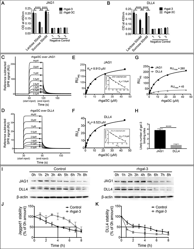Galectin-3 binds and increases JAG1 half-life over DLL4.