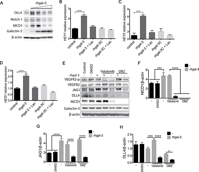 Galectin-3 increases Notch signaling activation in endothelial cells.
