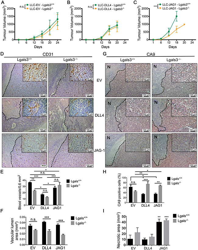 The growth of JAG1 overexpressing tumor is impaired in galectin-3 knock out mice.