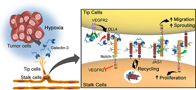 Proposed model for galectin-3-mediated angiogenesis via JAG1/Notch signaling.