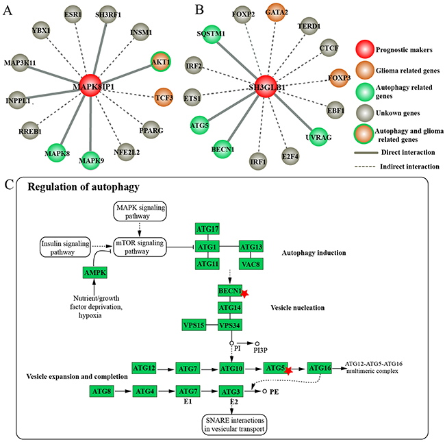 Roles ofMAPK8IP1 and SH3GLB1 in autophagy regulation.