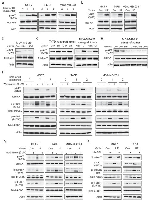 LIF activates the mTOR pathway through AKT in breast cancer cells.