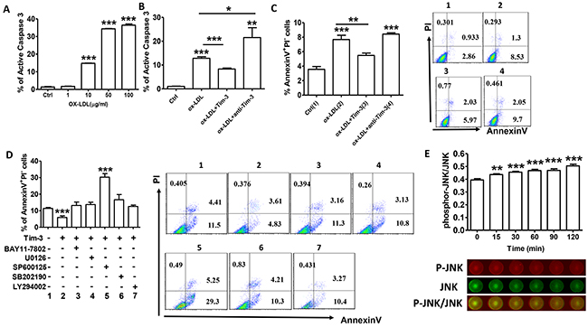 Tim-3 protects HUVECs from ox-LDL-induced apoptosis through activation of the JNK pathway.