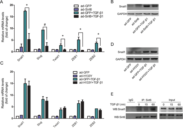 Sirt6 inhibits the expression of EMT-related transcription factors.