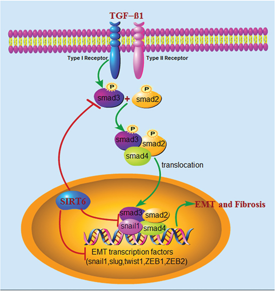 Schematic illustration of the molecular mechanisms of Sirt6 in regulating EMT of lung epithelial cells during IPF.