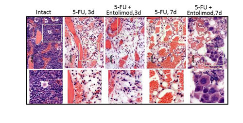 Effect of Entolimod on 5-FU-induced changes in bone marrow morphology.
