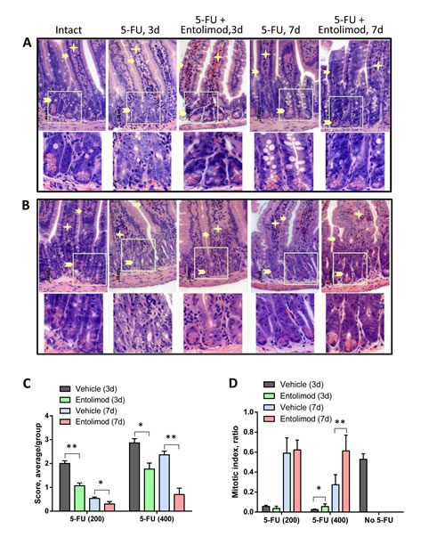 Effect of Entolimod on 5-FU-induced changes in small intestine morphology.