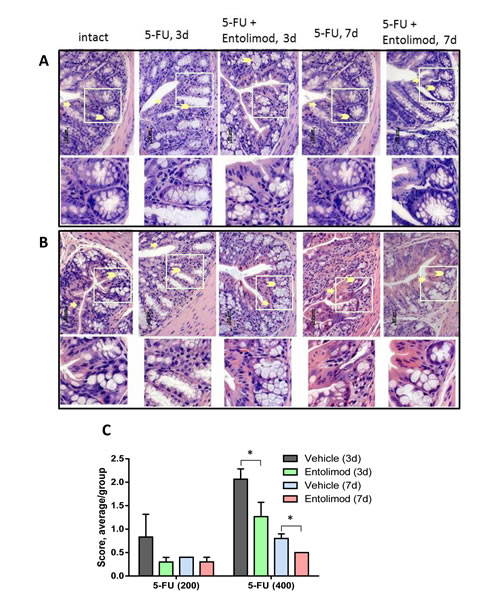 Effect of Entolimod on 5-FU-induced changes in colon morphology.