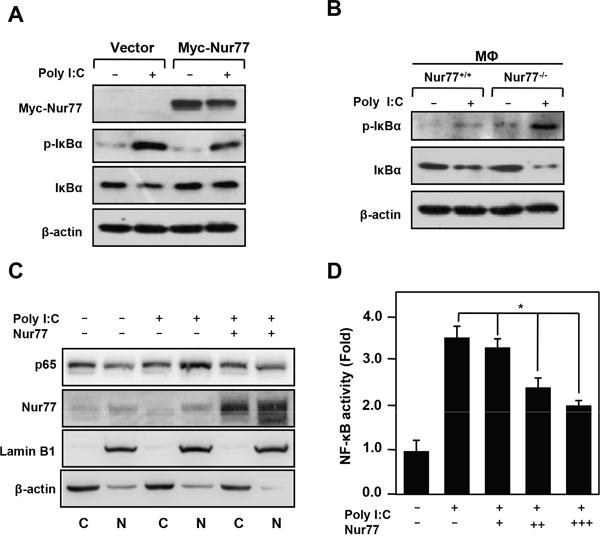 Nur77 inhibits poly (I:C)-induced NF-κB activation.