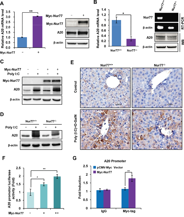 Nur77 transcriptionally enhances A20 expression in monocytes and macrophages.