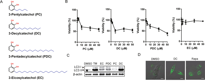 Effects of urushiol derivatives on cell death and autophagosomal marker in human hepatocellular carcinoma cells.