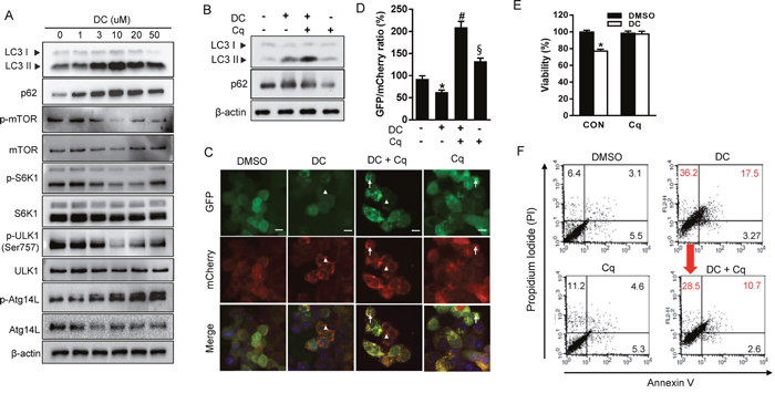 DC represses mTOR signaling and inhibition of autophagy prevents DC-induced cell death.