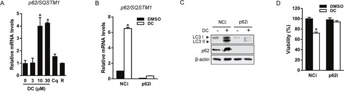 DC induces p62-dependent autophagy.