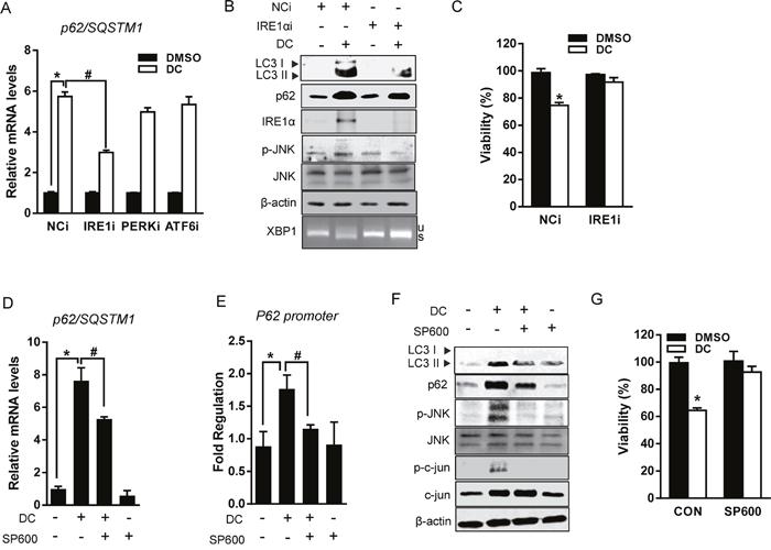 DC upregulates p62 transcription via IRE1/JNK/c-jun axis.