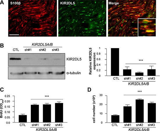 KIR2DL5 is a negative Schwann cell growth regulator.
