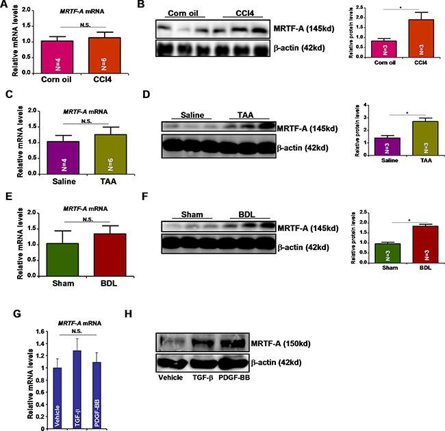 Pro-fibrogenic stimuli activates MRTF-A expression post-transcriptionally.