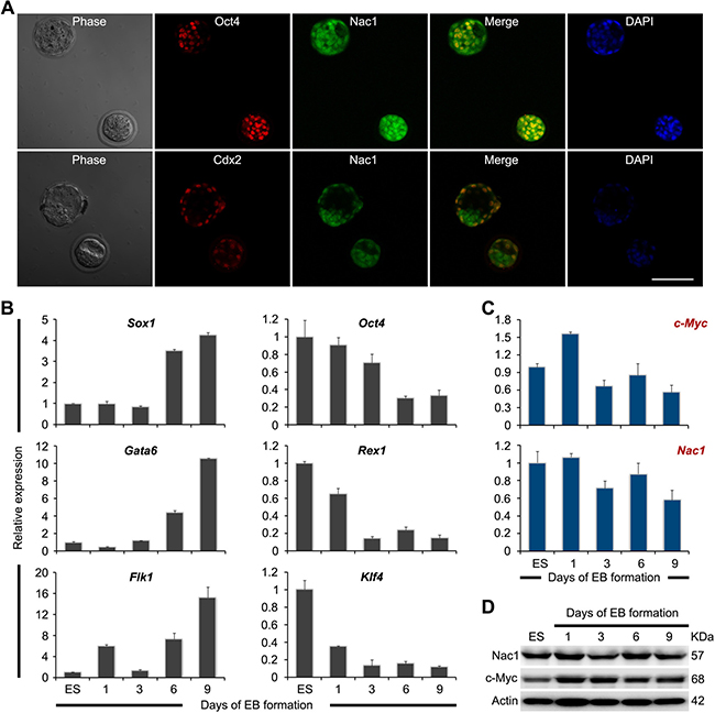 Expression pattern of Nac1 in preimplantation embryos, ESCs and during ESC differentiation.