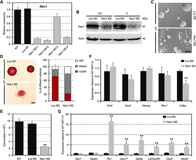 Nac1 KD reduces the self-renewal efficiency and induces an unstable pluripotent state in ESCs.