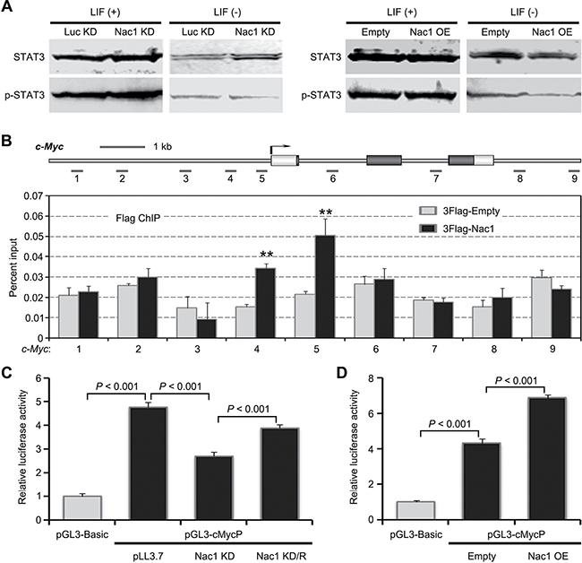 Nac1 directly binds and regulates c-Myc transcription.