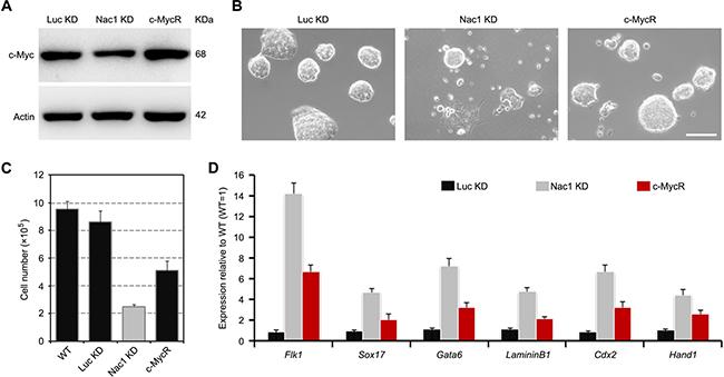 Restoration of c-Myc partially rescues Nac1 KD ESC phenotypes.