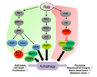 Ras signaling regulates autophagy.