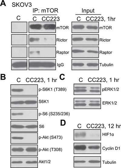 CC223 blocks mTORC1 and mTORC2 activation in SKOV3 cells.