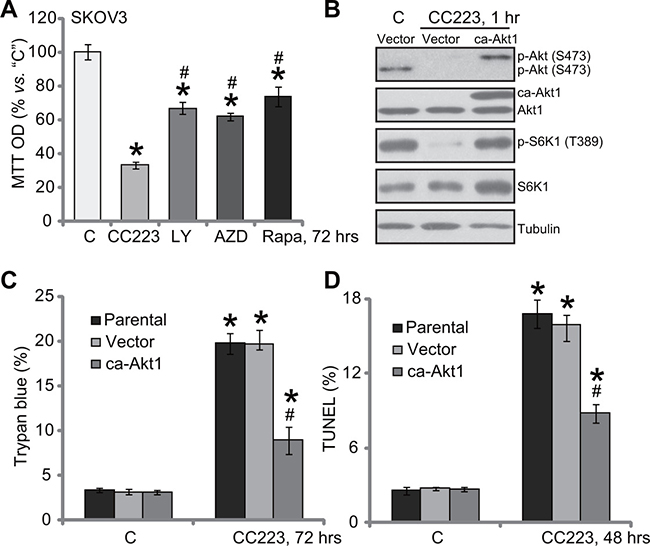 Restoring mTOR activation only partially inhibited CC223-induced cytotoxicity in SKOV3 cells.