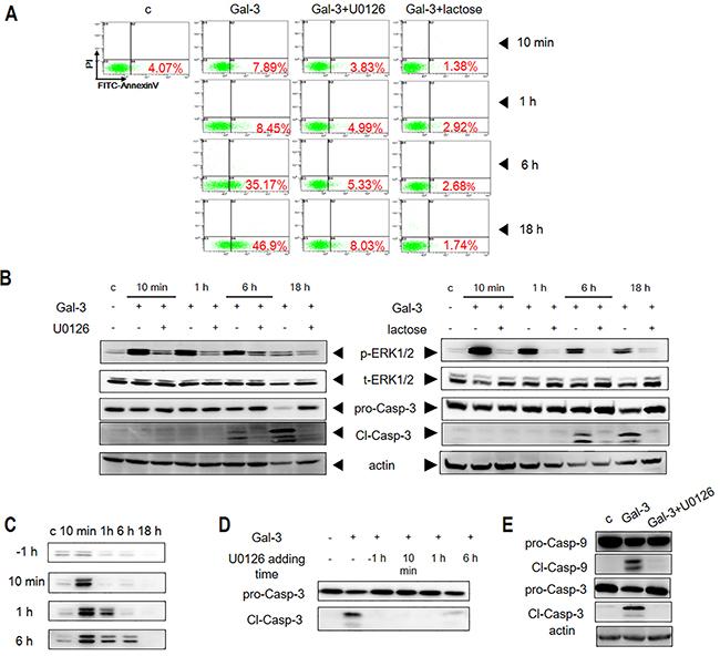 ERK phosphorylation is induced by Gal-3 in Jurkat cells.