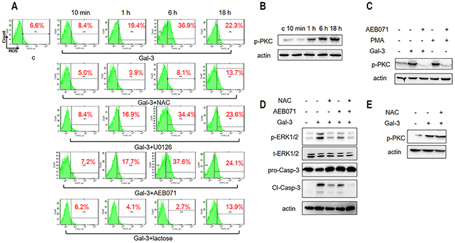 ROS and PKC activation is necessary for Gal-3-induced apoptosis.
