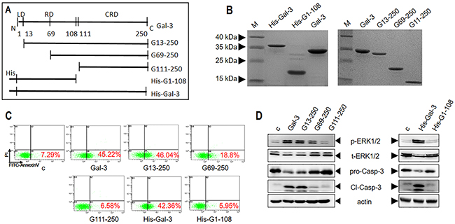 Characterization of apoptotic signaling efficiency of truncated variants of Gal-3.