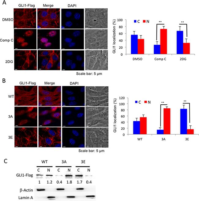 AMPK controls GLI1 protein localization.