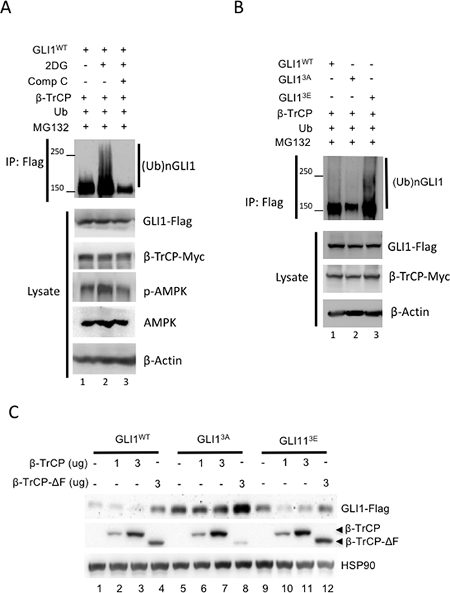 AMPK promotes β-TrCP-mediated GLI1 ubiquitination and degradation.