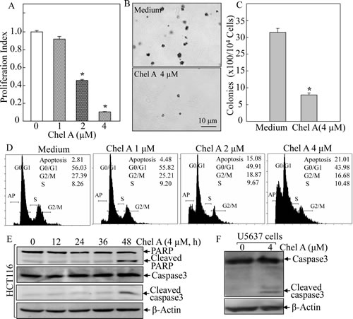 Fig 1: Chel A inhibited cell viability and anchorage-independent growth via induction of apoptosis in human colon cancer HCT116 cells.