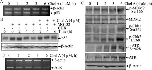 Fig 3: p53 protein induction by Chel A was via the inhibition of p53 protein degradation.