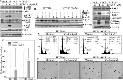 Fig 4: Chk2 mediated the biological effect of Chel A in HCT116 cells.