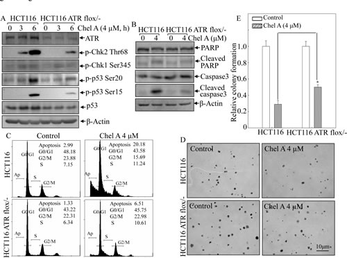 Fig 5: ATR conditional knockout attenuated the biological effect of Chel A in HCT116 cells.