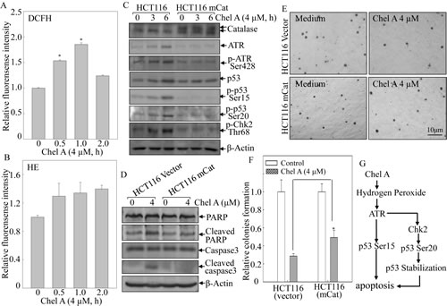 Fig 6: mCat overexpression blocked the biological effect of Chel A-induced hydrogen peroxide in HCT116 cells.