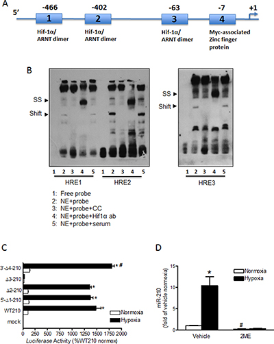 Characterization of the miR-210 promoter.