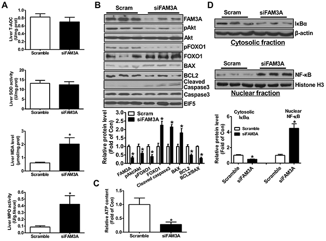 Knockdown of FAM3A increased oxidative stress and activated apoptotic gene in IRI mouse livers.
