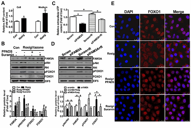 Rosiglitazone promoted Akt phosphorylation and nuclear exclusion of FOXO1 via FAM3A-ATP pathway in HepG2 cells.