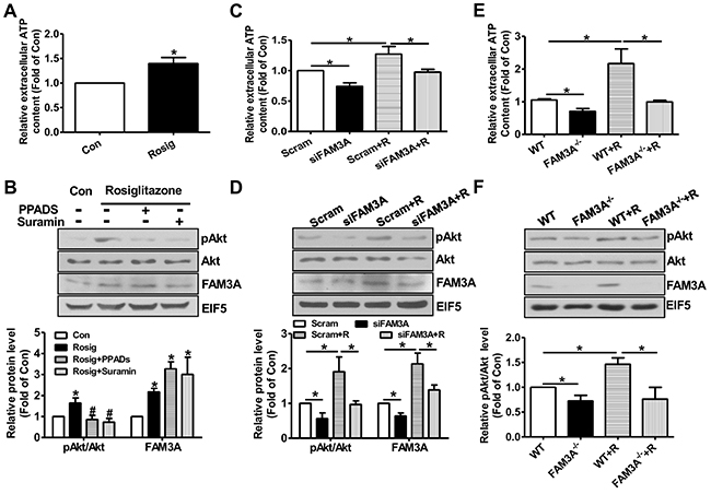 Knockdown or deficiency of FAM3A blunted rosiglitazone-induced Akt activation in primary mouse hepatocytes.