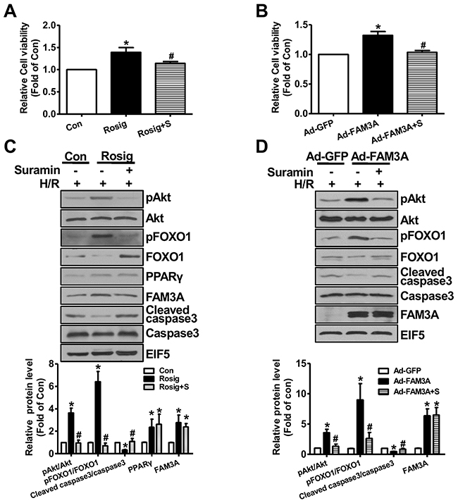 FAM3A activation or overexpression protected mouse hepatocyte against hypoxia/reoxygenation (H/R)-induced death.