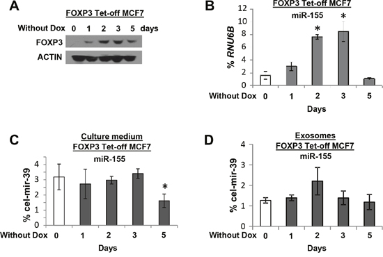 The expression of miR-155 in culture medium and exosomes of FOXP3 Tet-off MCF7 cells.