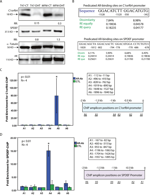 Western blot analysis and ChIP assays for C1orf64 and SPDEF.