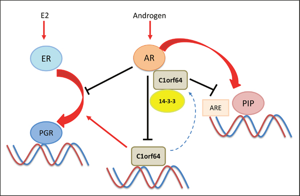 A schematic model for the interplay between AR and C1orf64.