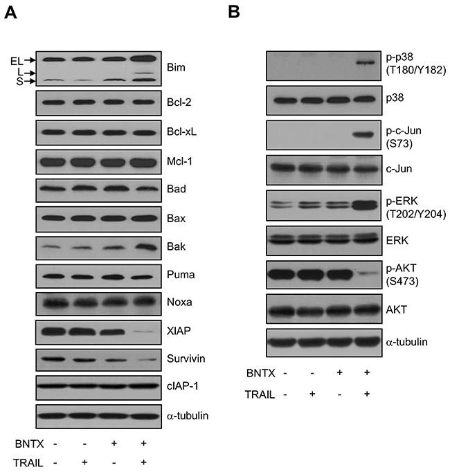 Effects of a combination of BNTX and TRAIL on the Bcl-2 protein family, IAP protein family, MAPKs, and AKT signaling molecules in AsPC-1 cells.